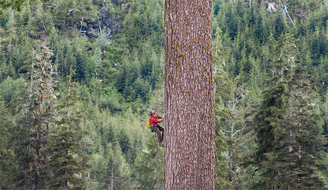 A professional tree-climber scales Big Lonely Doug on Vancouver Island in 2014.