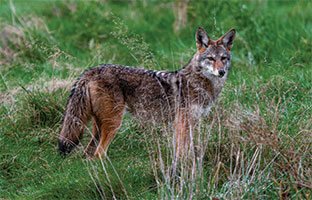 Tracking aggressive behaviour of coyotes in Vancouver's Stanley Park